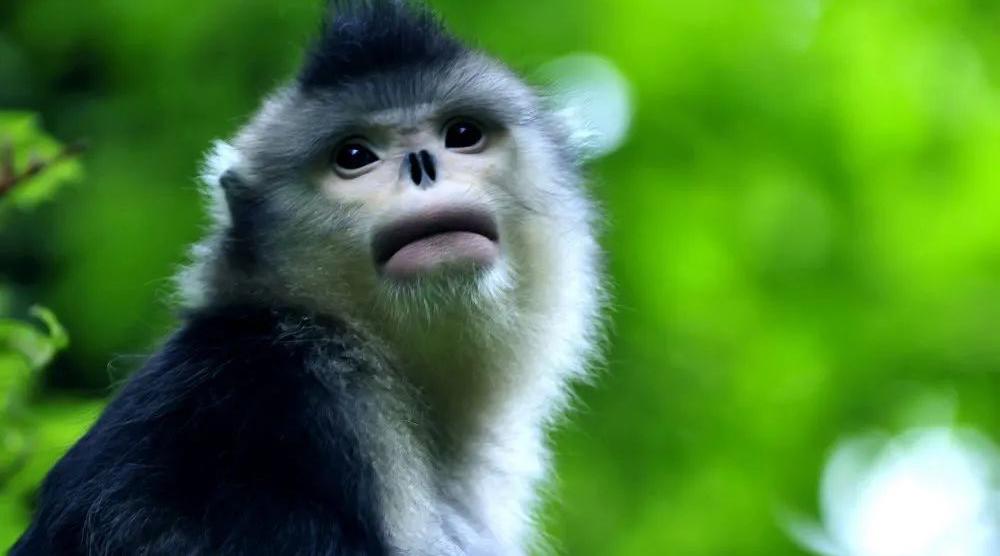 爱灵猴,护精灵 | 维西滇金丝猴护猴员体验团开团了…
